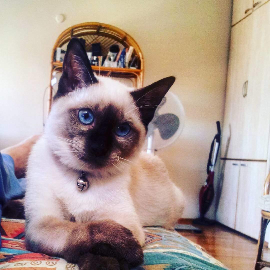yavru-siyam-kedisi-kote